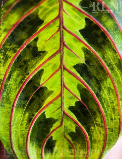 Prayer Plant Leaf
