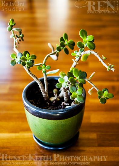 Succulent House Plant